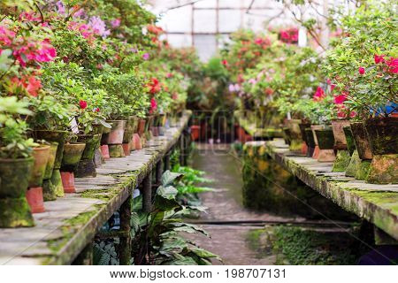 Flowers in the old greenhouse. Rhododendron flowers and tropical plants growing in a vintage greenhouse