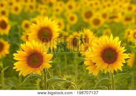 Amazing beauty of sunlight on sunflower petals. Beautiful view on field of sunflowers at sunset