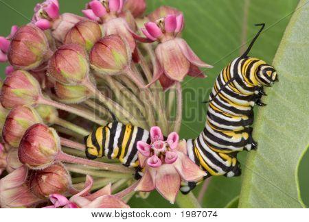 Monarch Caterpillar On Milkweed 7