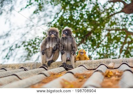 Thailand wildlife: spectacled langurs family, male, female and an orange baby in Prachaup Khiri Khan. Every day, the tribe leaves their nature habitat in a mountain forest to get some food from people