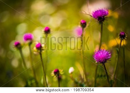 Abstract copy space background of Alpine flowers. Milk Thistle in Alpine meadows.