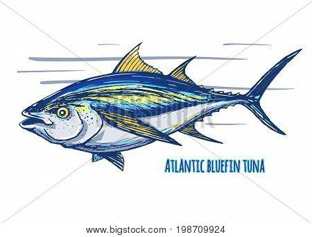 Atlantic bluefin tuna.Hand drawn sketch colored vector. Endangered species of marine fish.