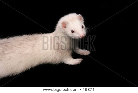 Light Coloured Male Domestic Ferret