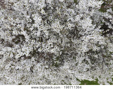 Blooming Cherry Plum. White Flowers Of Plum Trees On The Branches Of A Tree. Spring Garden.