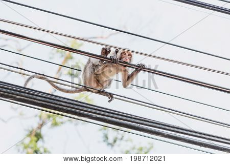 Monkey gnaws a high-voltage wire. Wild monkey in the urban environment. Macaque in the streets of Prachuap Khiri Khan city, Thailand