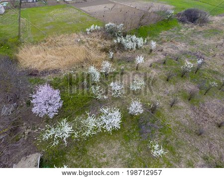 Blooming Cherry Plum. Arable Garden, Rows Of Young Trees. White Flowers Of Plum Trees On The Branche