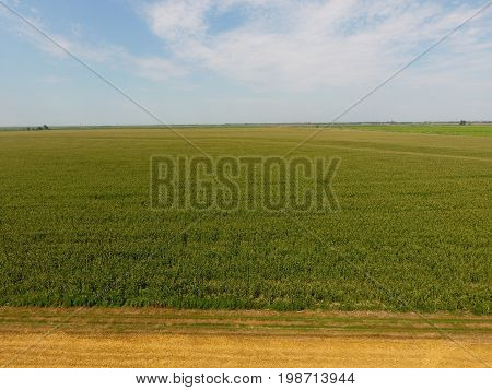 Field Of Corn And Part Of The Field Of Sloping Wheat. Green Corn Blooms On The Field. Period Of Grow