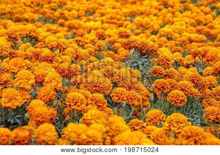 Cempasuchil flower. Tagetes Erecta Mexican flower of the day of the dead.