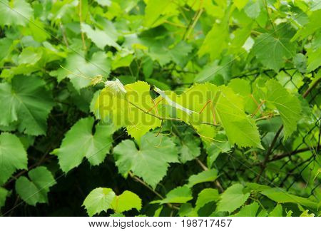 some green leaves of grapevine plant in summer