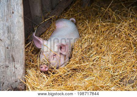 Domestic Pigs On A Farm