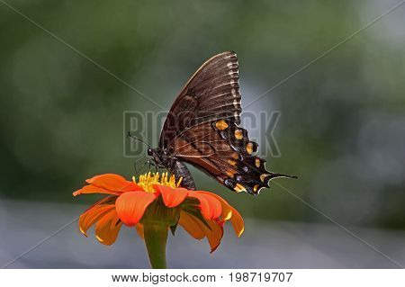 Dark form of Female Eastern Tiger Swallowtail feeding on Tithonia diversifolia or Mexican sunflower. It is a strong flier and is found in fields, roadsides, or gardens not far from deciduous forests.