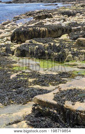 Kelp On Rocks