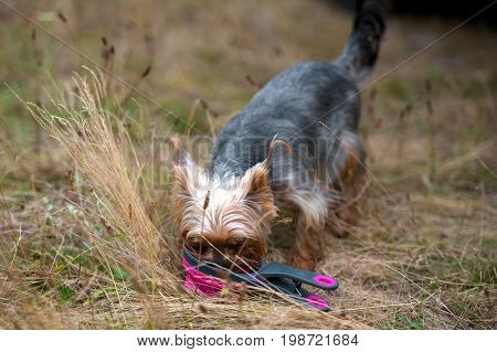 Cute Domestic Yorkshire Terrier Dog Drinking Water From Water Bowl On Grass  In Summer Outdoor, Free
