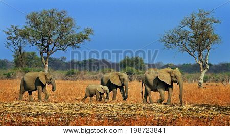 A small herd of elephants walking across the African plains with a vibrant blue sky in South Luangwa National Park Zambia Africa