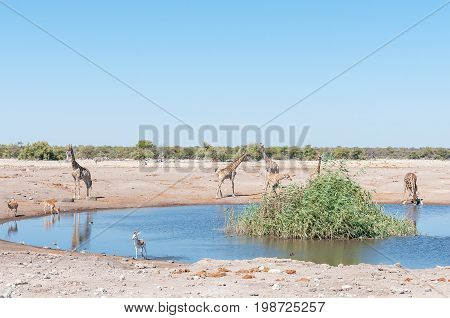 A landscape with seven Namibian giraffes two impalas a springbok and a burchells zebra at a waterhole in northern Namibia