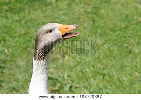 Close Up Portrait Of A West Of England Goose Calling Or Hissing