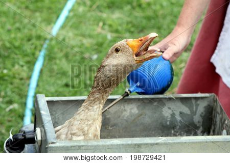 West Of England Gander (male Goose) Stuck In A Farmyard Water Trough