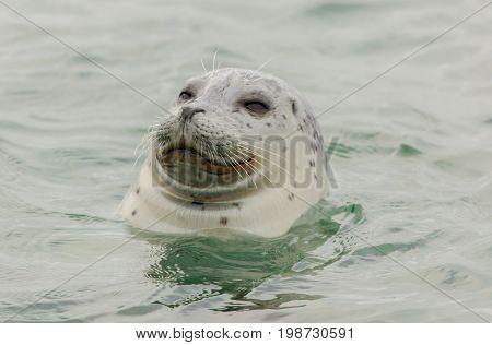 Curious Harbor Seal (Phoca vitulina) in the Pacific Ocean. San Mateo County, California, USA.