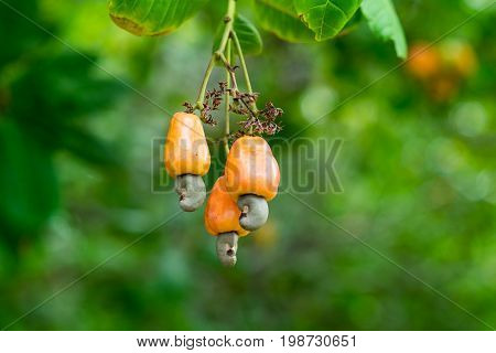 Cashew nuts grow on a tree branch. Cashew nuts (Anacardium occidentale) and leaves in a garden in Prachuap Khiri Khan city, Thailand. Cashew plant outdoors