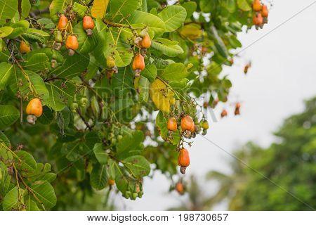Cashew nut tree in a garden in evening lights. Cashew nut plant full of fruits