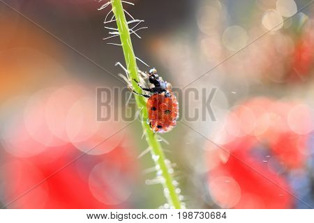 Small Red Ladybug walking after stem poppy