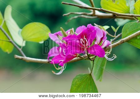 Closed Up Pink Flower (bauhinia Purpurea Or Butterfly Tree , Orchid Tree )