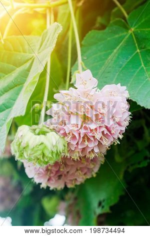 Dombeya wallichii or pink ball or pink ball tree. This hanging flower clusters are pink showy and fragrant