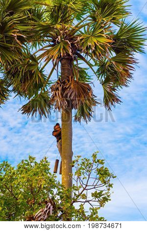 KAMPOT, CAMBODIA - DECEMBER 28: Man (unidentified) climbs up a palm tree to collect palmyra palm (Borassus flabellifer) juice on December 28, 2016 in Kampot, Cambodia.
