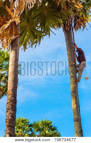 KAMPOT, CAMBODIA - DECEMBER 28: Man (unidentified) with a plastic container climbs up a palm tree to collect palmyra palm (Borassus flabellifer) juice on December 28, 2016 in Kampot, Cambodia.
