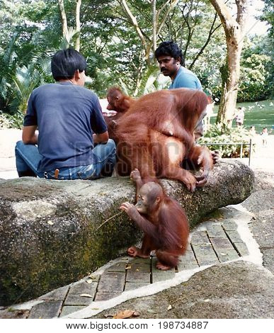 SINGAPORE - CIRCA 1990: Visitors are permitted to interact with captive orangutans at the Singapore Zoo.