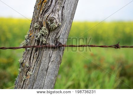 A close up image of an old weathered fence post with rusted barbwire.