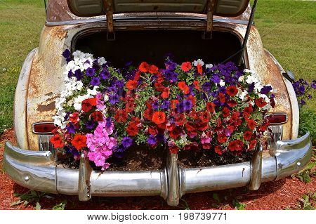 Beautiful blooming flowers are displayed in the back of an old rusty car trunk