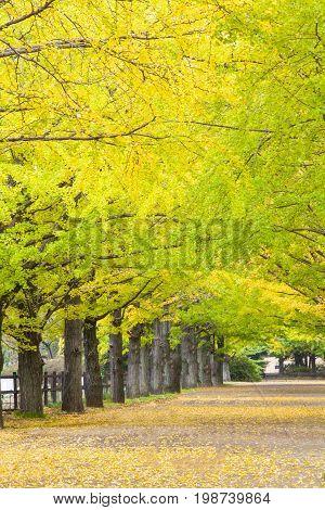 The Street Nearby Meiji Jingu Gaien That Has Beautiful Ginkgo Along The Lenght Of The Street