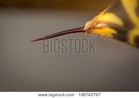 Sting of wasp (Vespa vulgaris) micro photography