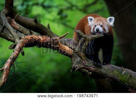 Nice red panda (Ailurus fulgens) on tree