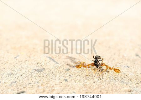 together, Two red ants helping each other carrying lift black ant
