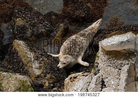 Seals Relaxing Ona Rocks Near Water