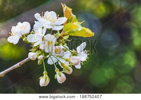 blossoming tree branch on a blurry background with a bokeh effect