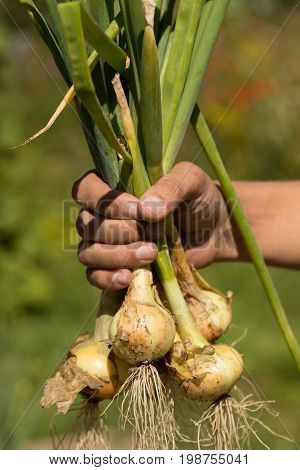 Onion. Hand Men Hold Fresh Onion With Husk And Roots On Background Of Sunny Garden Summer.