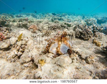 Reef Octopus (octopus Cyanea) On Coral Reef