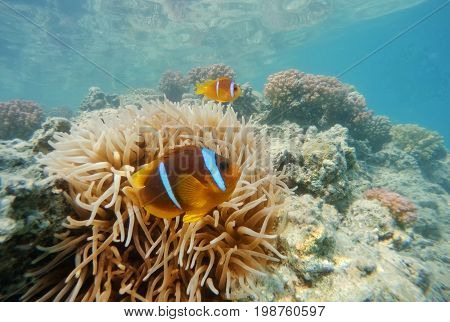 Clown Fish Near Sea Anemone, Red Sea, Marsa Alam, Egypt