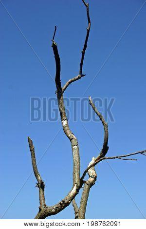 Dead Wood In Tree Top