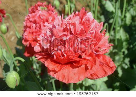 Frilly Pink Poppy