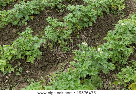 Green Field With Organic Sprouts Sitting In Beds. Green potato plants. Leaves of vegetable.Organic food agriculture in garden field or farm. Rural nature in summer.