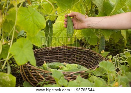Closeup of woman's hands with plastic basket picking up organic cucumbers in the greenhouse. Healthy eating. Gardening and agriculture concept.