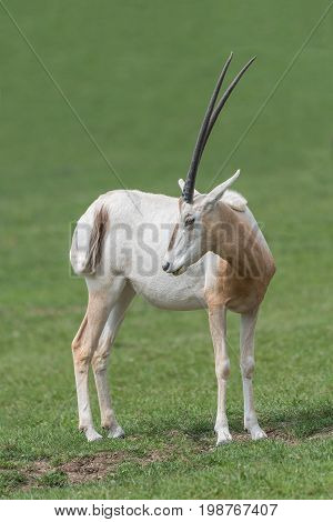 Scimitar-horned oryx (Oryx dammah) portrait looking back over its shoulder in upright vertical format