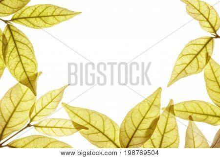 Closeup white space at the center of frame by brown leaves isolated on white background
