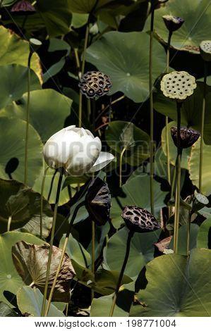 Bud of white lotus flower close up. Nelumbo Buddha's Throne - Lotus