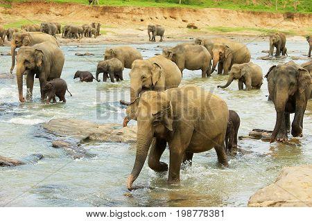 Herd of elephants with babies cross river in Pinnawala, Sri Lanka. Pinnawala is famous for it's elephant orphanage.