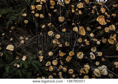 wood of pine at the lithuania forsest